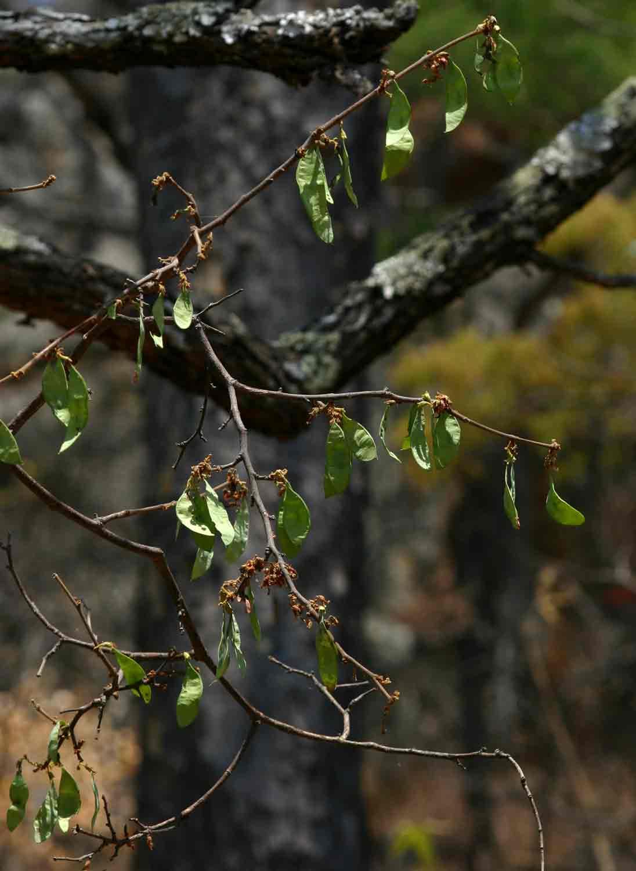 Dalbergia nitidula
