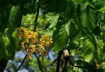 Pterocarpus brenanii