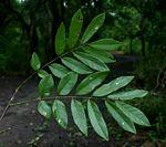 Philenoptera bussei