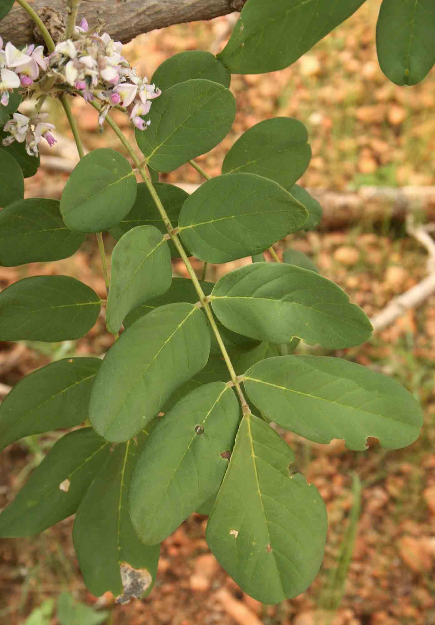 Philenoptera wankieënsis