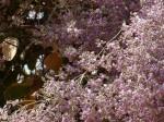Philenoptera nelsii