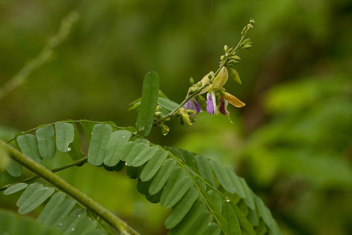 Abrus schimperi subsp. oblongus