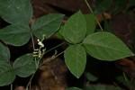 Neonotonia wightii subsp. wightii var. longicauda