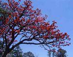 Erythrina latissima