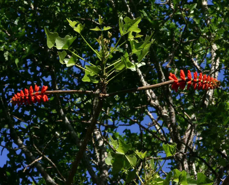 Erythrina livingstoniana
