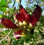 Mucuna coriacea subsp. irritans