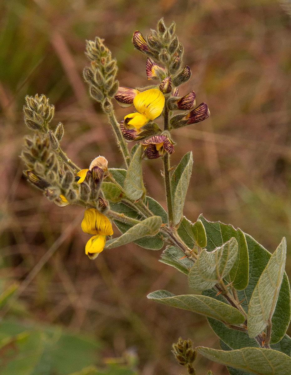 Rhynchosia chimanimaniensis