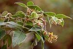 Rhynchosia clivorum subsp. pycnantha