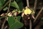 Rhynchosia divaricata