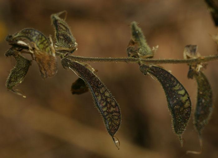Rhynchosia insignis