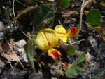 Rhynchosia monophylla