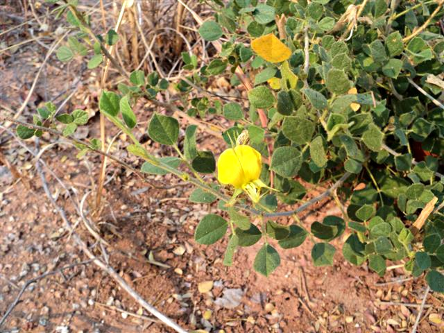 Rhynchosia wildii