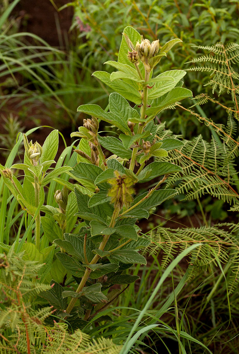 Eriosema buchananii var. buchananii