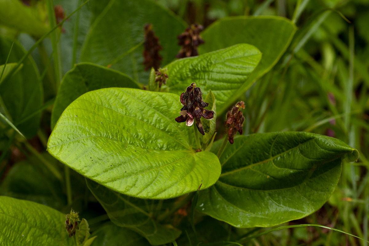 Eriosema chrysadenium var. chrysadenium