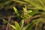Eriosema pauciflorum