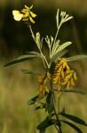Eriosema psoraloides