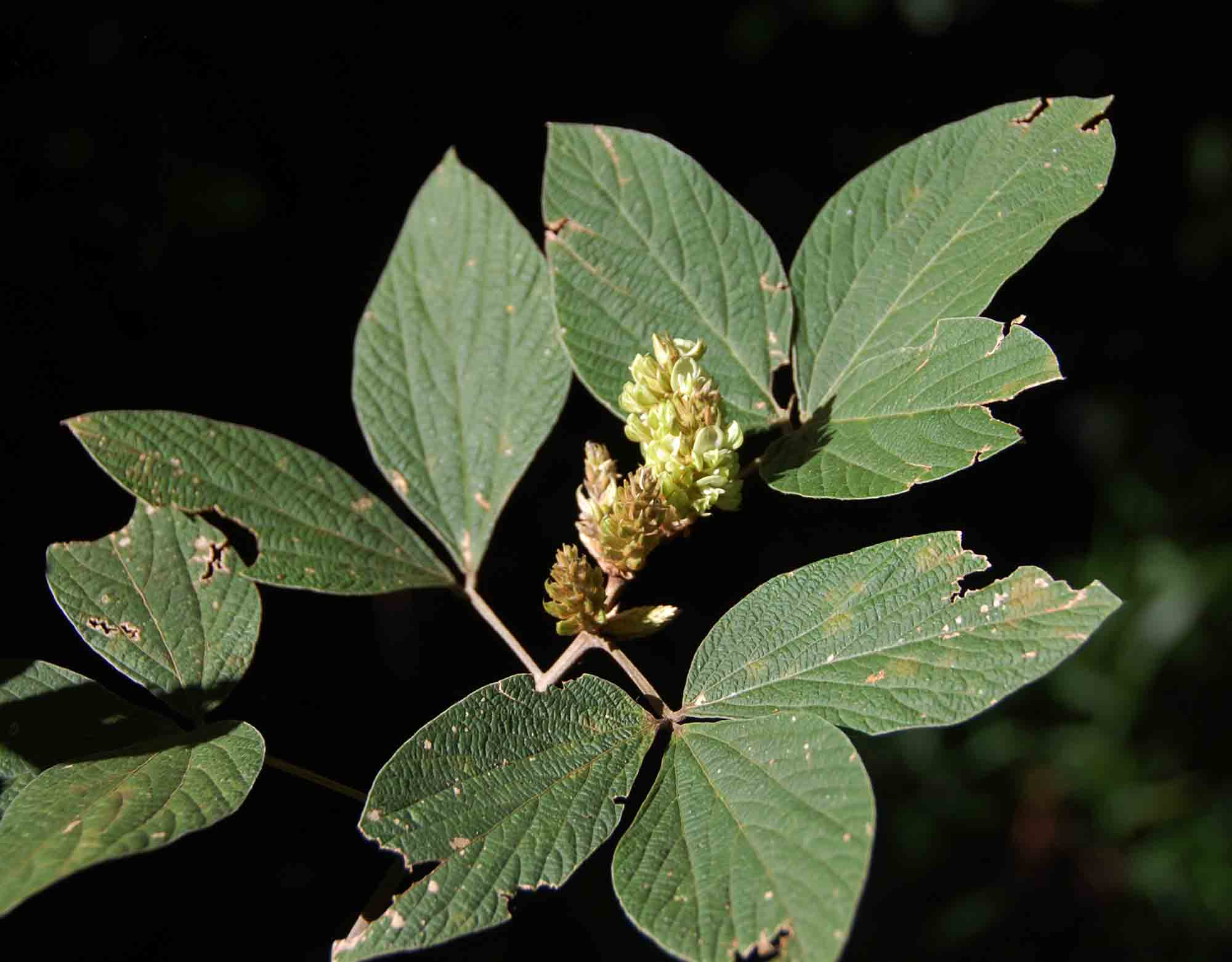 Flemingia grahamiana
