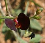 Macroptilium atropurpureum