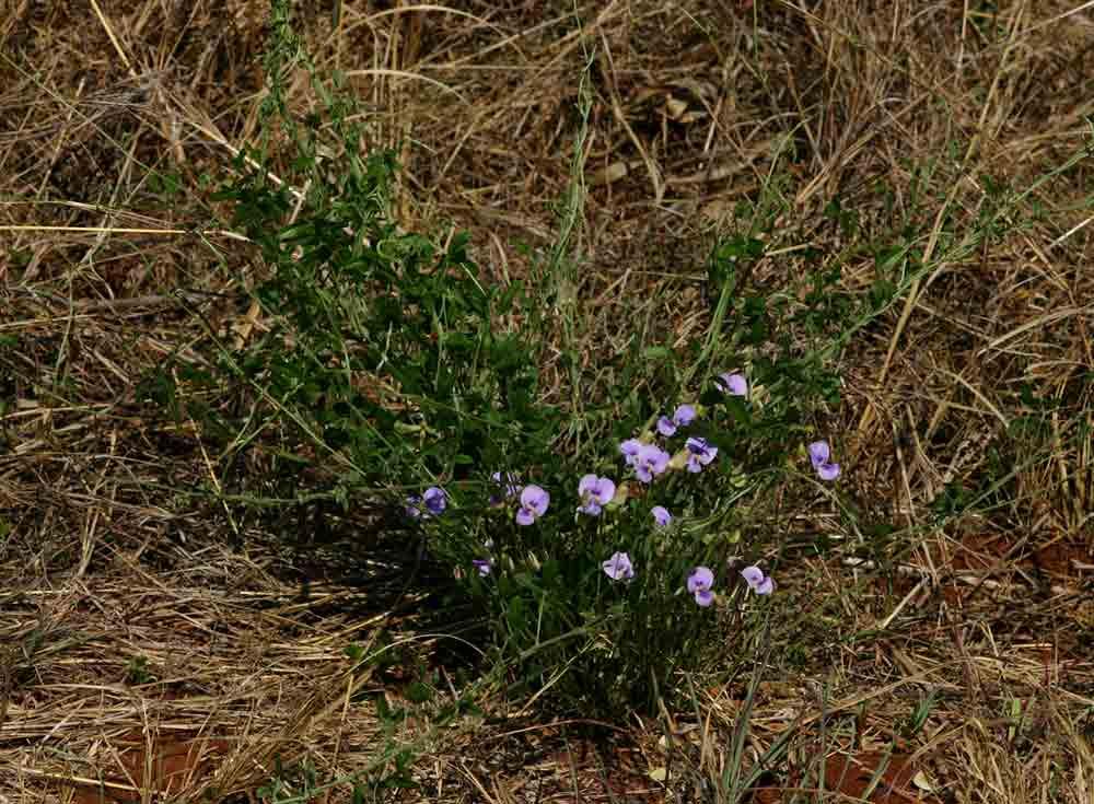 Vigna frutescens subsp. frutescens var. frutescens