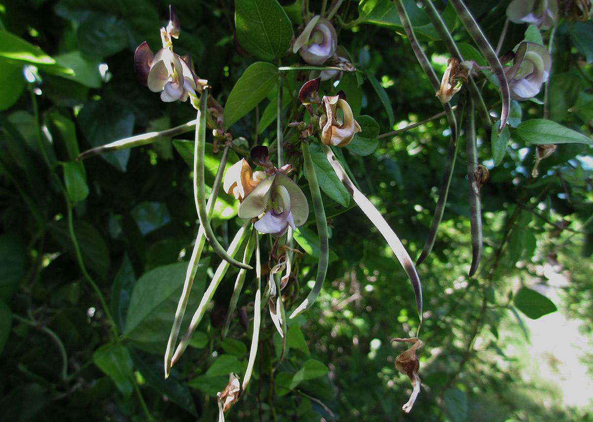 Wajira grahamiana