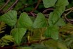 Lablab purpureus subsp. uncinatus var. uncinatus