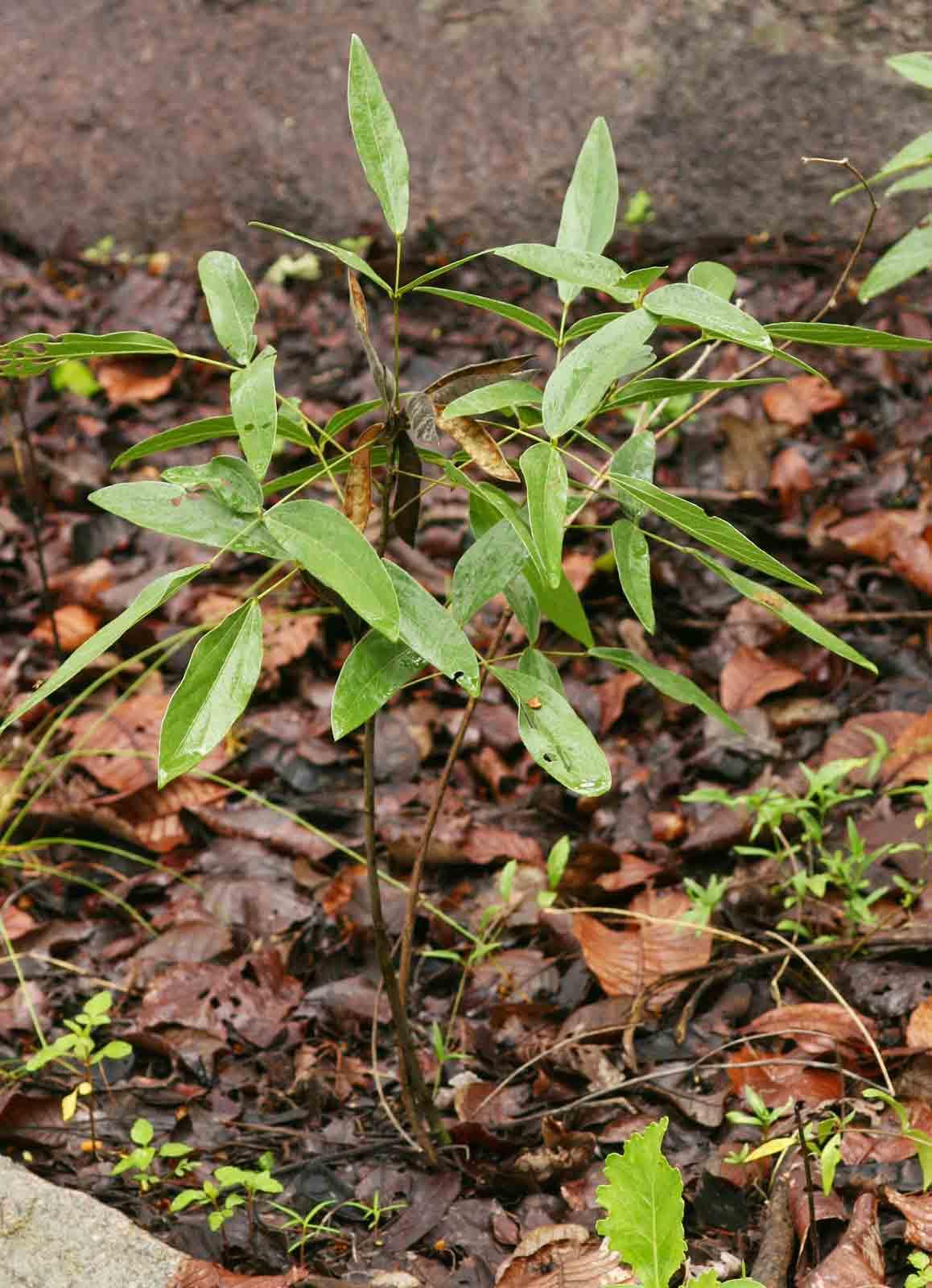 Dolichos kilimandscharicus subsp. kilimandscharicus