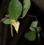 Macrotyloma axillare var. glabrum