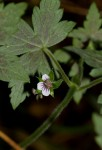 Geranium arabicum subsp. arabicum