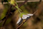 Geranium incanum subsp. nyassense