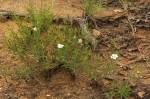 Monsonia burkeana