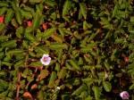 Monsonia senegalensis