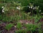 Pelargonium luridum