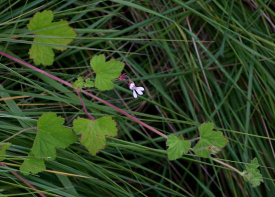 Pelargonium mossambicense