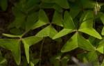 Oxalis latifolia