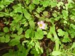 Oxalis obliquifolia