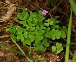 Oxalis semiloba subsp. semiloba