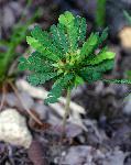Biophytum umbraculum