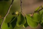 Erythroxylum zambesiacum