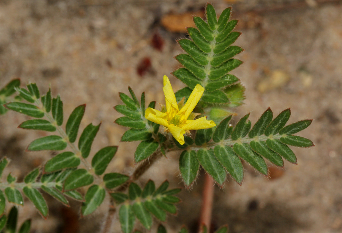 Flora Of Zimbabwe Species Information Individual Images Tribulus Terrestris