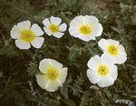 Tribulus zeyheri subsp. zeyheri