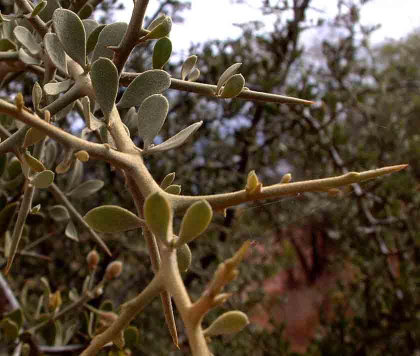 Balanites pedicellaris subsp. pedicellaris