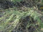 Thamnosma rhodesica