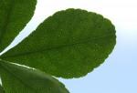 Citropsis daweana