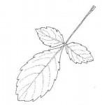 Commiphora africana