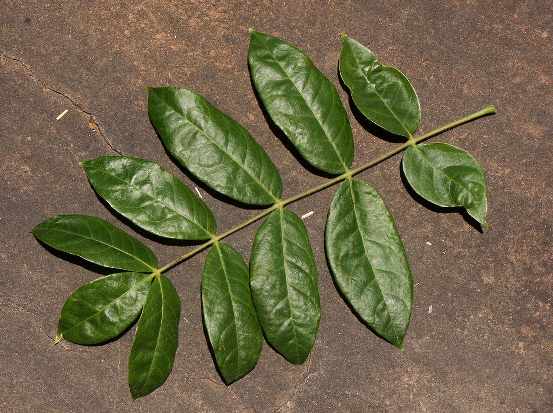Commiphora karibensis