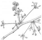 Commiphora mollis