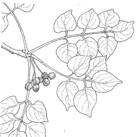 Commiphora mossambicensis