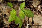 Commiphora neglecta