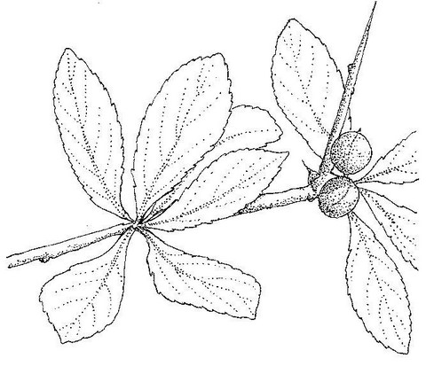 Commiphora pyracanthoides subsp. pyracanthoides