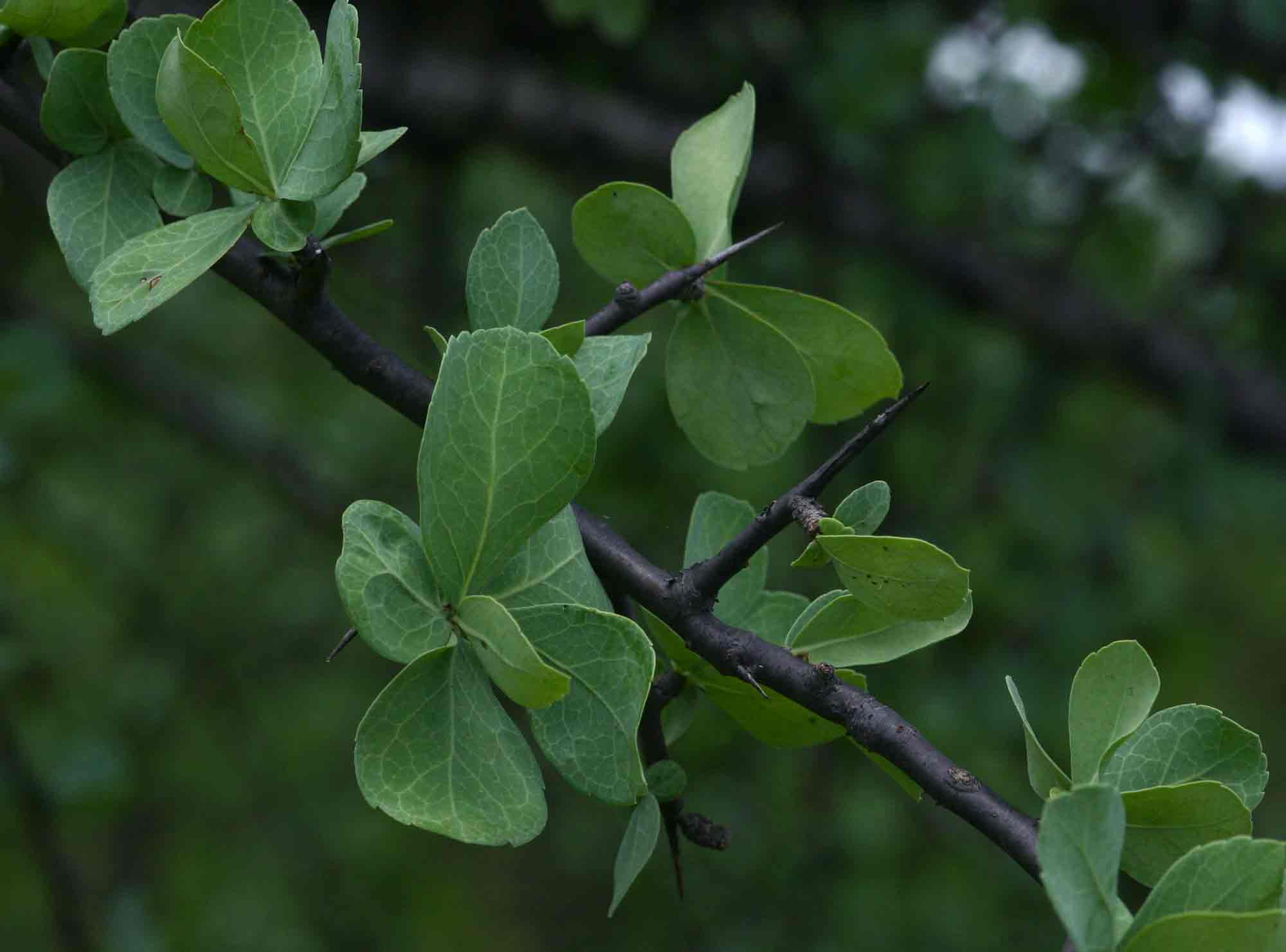 Commiphora viminea
